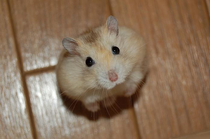 http://zhuchkovs.com/images/ifwiki_hamster.jpg